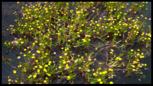 Cotula-coronopifolia