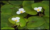 hydrocharis-morsus-frogbit