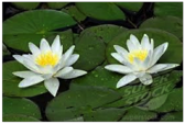 Unknown white water lily