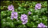 Eichhornia_crassipes2
